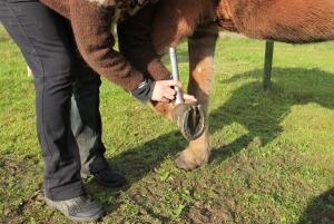 Hestens dybe bøjesene behandles med laser